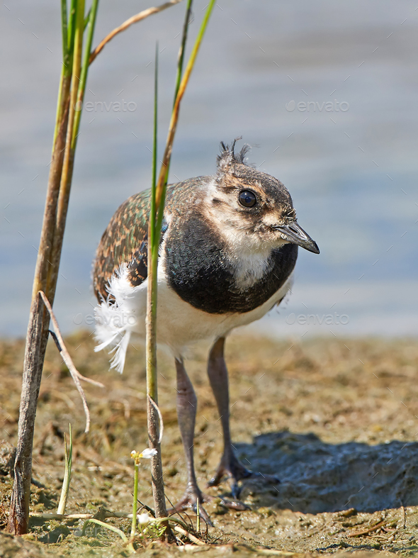 Northern lapwing (Vanellus vanellus) - Stock Photo - Images