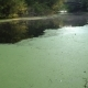 Green Duckweed on River - VideoHive Item for Sale