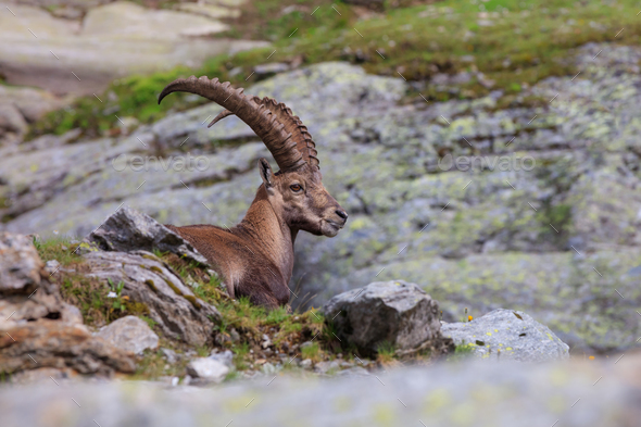 Ibex, Range of Mont Blanc, France - Stock Photo - Images