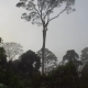 Tall Tropical Rainfprest Dipterocarp Trees in Misty Weather - VideoHive Item for Sale