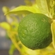 Lime Fruit in the Tree Citrus Growing - VideoHive Item for Sale
