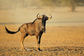 Blue wildebeest in dust - PhotoDune Item for Sale
