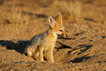 Cape fox in natural habitat - PhotoDune Item for Sale