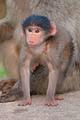 Baby chacma baboon - PhotoDune Item for Sale