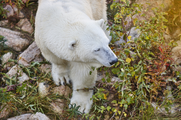 Polar bear in the wilderness. Wildlife animal background. Horizontal - Stock Photo - Images