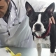 Adorable Boston Terrier Puppy at the Vet Clinic - VideoHive Item for Sale