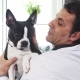 Cute Boston Terrier Canine in the Hands of a Male Vet - VideoHive Item for Sale