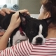 Sick Boston Terrier Puppy Being Examined By a Professional Vet - VideoHive Item for Sale