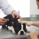 Cute Boston Terrier Puppy Lying on the Table While Vet Examining Him - VideoHive Item for Sale