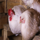 Chickens Sitting at The Roost - VideoHive Item for Sale