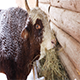 The Breeding Bull Eating Hay - VideoHive Item for Sale