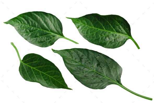 Capsicum annuum pepper leaves, paths - Stock Photo - Images