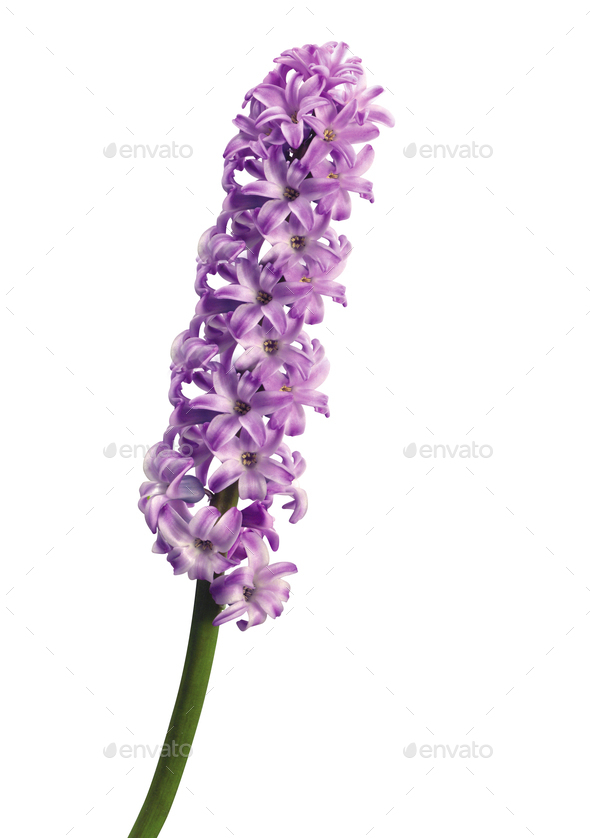 isolated lilac on white background - Stock Photo - Images