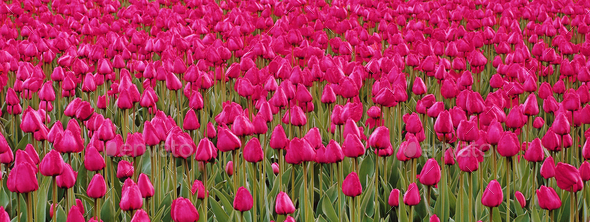 Row of tulips - Stock Photo - Images