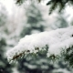 Snow Falling at the Fir Trees Branches - VideoHive Item for Sale