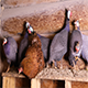 Helmeted Guineafowls Sitting at The Roost - VideoHive Item for Sale