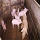 The Sow And Piglets in The Corner of Pigsty - VideoHive Item for Sale