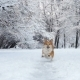 Little Funny Corgi Fluffy Puppy Walking Outdoors at the Winter Day - VideoHive Item for Sale
