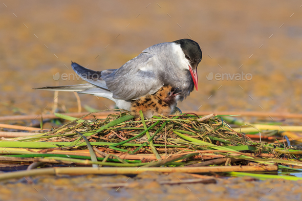 common tern (sterna hirundo) - Stock Photo - Images