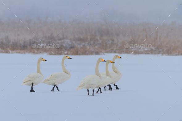 Whooper Swan (Cygnus cygnus) in winter - Stock Photo - Images