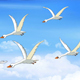 Flock of Swans Flies in the Sky - VideoHive Item for Sale