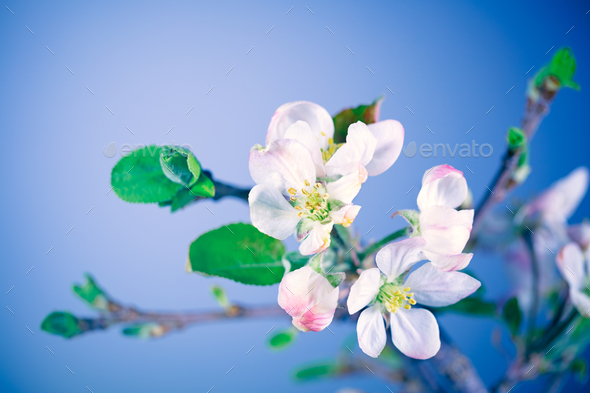 Blooming of apple tree - Stock Photo - Images