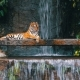 The Tiger Lies on the Rock Near the Waterfall - VideoHive Item for Sale