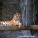 The Tiger Lies on the Rock Near the Waterfall. Thailand - VideoHive Item for Sale