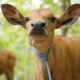 Cute Baby Cow Portrait. . - VideoHive Item for Sale