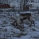 Reindeers Deer in Natural Environment, Tromso Region, Northern Norway - VideoHive Item for Sale