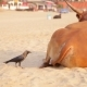 Crow Is Pecking a Cow's Tail on a Beach in India - VideoHive Item for Sale