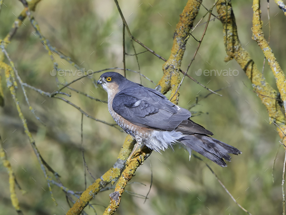 Eurasian sparrowhawk (Accipiter nisus) - Stock Photo - Images
