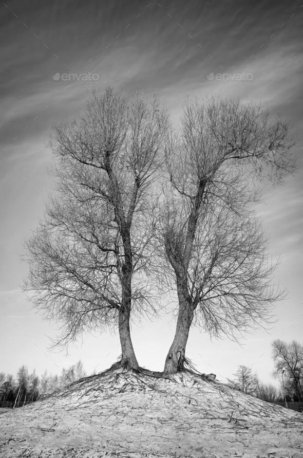Black and white picture of leafless twin trees - Stock Photo - Images