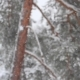 Clean Fresh Snow That Is in the Pine Forest - VideoHive Item for Sale