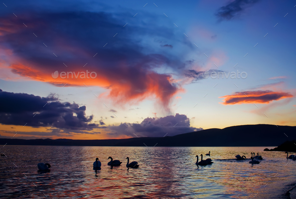Silhouettes Of Swans On The Lake - Stock Photo - Images