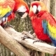 Two Parrots on a Tree Branch. - VideoHive Item for Sale