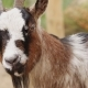 The Goat From the Farm. - VideoHive Item for Sale