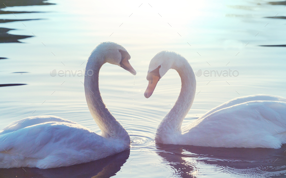 Swan - Stock Photo - Images