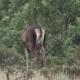 Female Deer Feeding in the Bush - VideoHive Item for Sale
