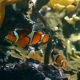 Ocellaris Clownfish in Tank - VideoHive Item for Sale