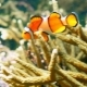 Clownfish in Aquarium - VideoHive Item for Sale