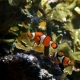 Clownfish Swimming Together - VideoHive Item for Sale