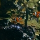 Two Clownfish - VideoHive Item for Sale