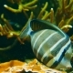 Pacific Sailfin Tang - VideoHive Item for Sale