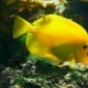 Swimming Yellow Tang - VideoHive Item for Sale