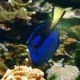 Royal Blue Tang - VideoHive Item for Sale