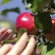 A Female Hand Pluck a Red Apple From an Apple Tree Branch - VideoHive Item for Sale