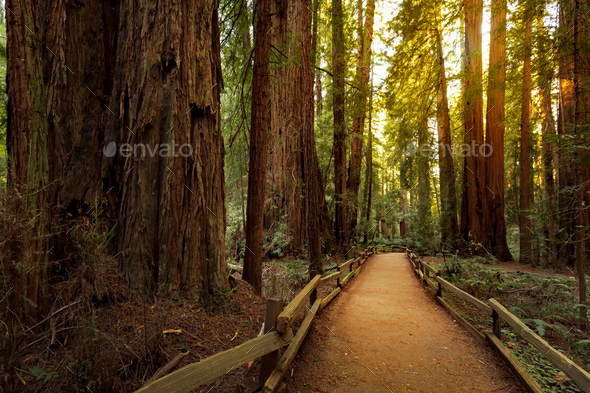 Hiking trail in redwood forest - Stock Photo - Images