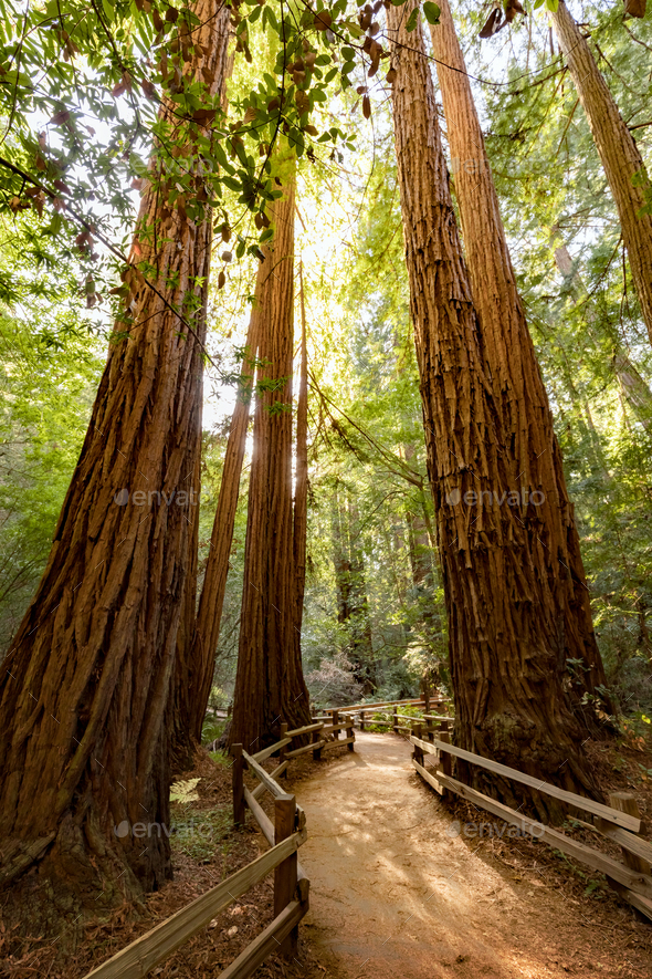Giant redwoods - Stock Photo - Images