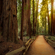 Hiking trail in redwood forest - PhotoDune Item for Sale